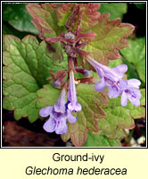 Ground-ivy, Glechoma hederacea
